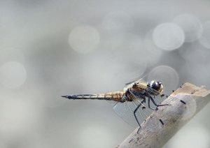 Die fabelhafte Welt der Libellen (Posterbuch DIN A2 quer)