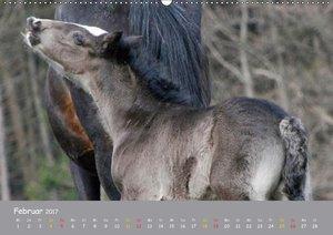 Shire Horse Fohlen
