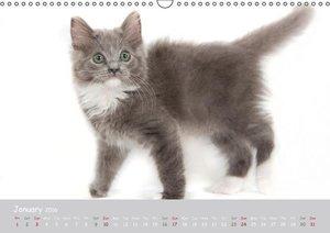 Amazing Ragdoll Kittens (Wall Calendar 2016 DIN A3 Landscape)
