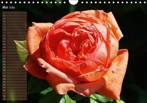 Lass Rosen sprechen (Wandkalender 2016 DIN A4 quer)