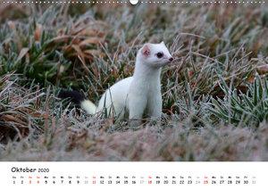Hermelin - das wieselflinke Raubtier (Wandkalender 2020 DIN A2 q