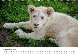 Weiße Baby Löwen - Süß und verspielt (Wandkalender 2019 DIN A2 q