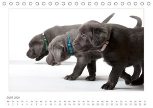 Labradorwelpen - Freunde fürs Leben