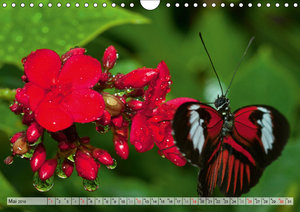 Schmetterlinge - zarte Geschöpfe der Natur (Wandkalender 2019 DI