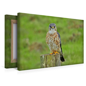 Premium Textil-Leinwand 45 cm x 30 cm quer Merlin Männchen (Falc