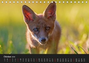 Füchse in freier Natur (Tischkalender 2019 DIN A5 quer)