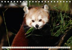 Kleiner Panda auf Entdeckungstour