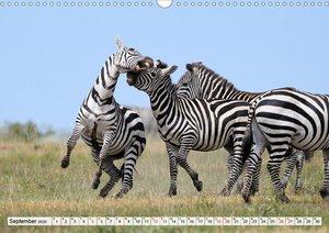 Faszination Afrika: Zebras
