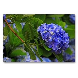 Premium Textil-Leinwand 90 cm x 60 cm quer Blaue Hortensien als