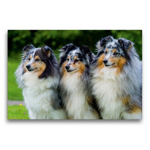 Premium Textil-Leinwand 75 cm x 50 cm quer Sheltie-Trio