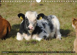 Kühe, Kälber, Rinder (Wandkalender 2020 DIN A4 quer)