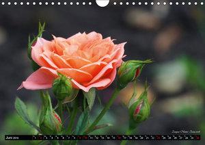 Die Namen der Rosen (Wandkalender 2019 DIN A4 quer)