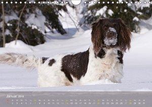 Kleiner Münsterländer Vorstehhund