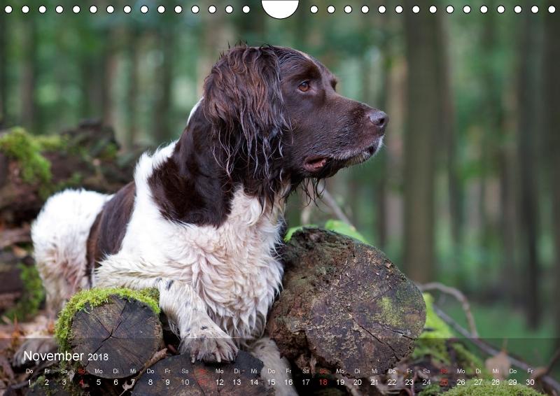 Kleiner Münsterländer Vorstehhund - zum Schließen ins Bild klicken