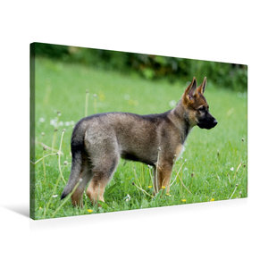 Premium Textil-Leinwand 75 cm x 50 cm quer Deutscher Schäferhund