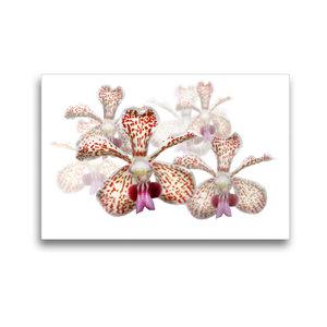 Premium Textil-Leinwand 45 cm x 30 cm quer Vanda besonii Orchide
