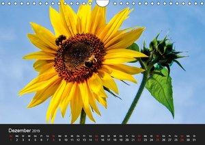 Strahlende Sonnenblumen / CH - Version (Wandkalender 2019 DIN A4