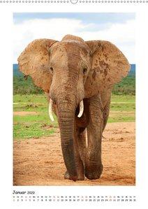 SÜDAFRIKA - WILDTIERE IM PORTRAIT (Wandkalender 2020 DIN A2 hoch