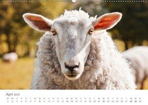 Schafe - Weich und wollig (Wandkalender 2018 DIN A2 quer)