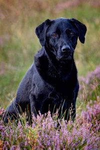Premium Textil-Leinwand 60 cm x 90 cm hoch Schwarzer Labrador