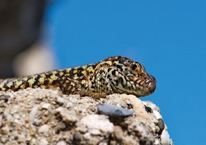 Lizards - Stone Wall Jewels (Poster Book DIN A3 Landscape)