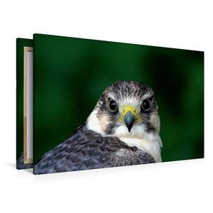 Premium Textil-Leinwand 120 cm x 80 cm quer Falke