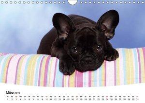 Bullys - Französische Bulldoggen 2019 (Wandkalender 2019 DIN A4