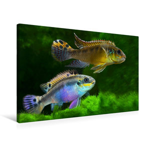 Premium Textil-Leinwand 75 cm x 50 cm quer Pelvicachromis taenia
