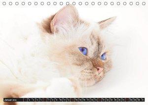 Rassekatzen (CH - Version) (Tischkalender 2019 DIN A5 quer)