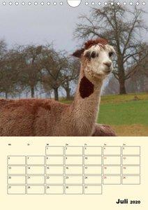 Alpakas erleben (Wandkalender 2020 DIN A4 hoch)