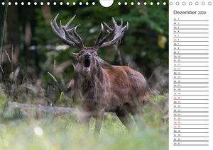 Emotionale Momente: Hirschbrunft. Part II. (Wandkalender 2020 DI
