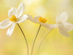 CALVENDO Puzzle Weiße Blumen - Anemonen 1000 Teile Lege-Größe 64