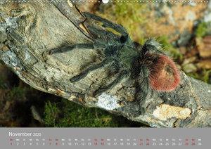 Achtbeinige Exoten (Wandkalender 2020 DIN A2 quer)