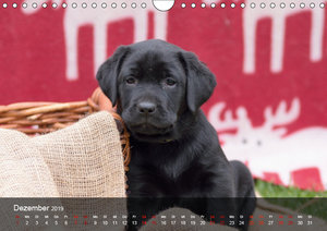 Labrador Retriever Welpen (Wandkalender 2019 DIN A4 quer)