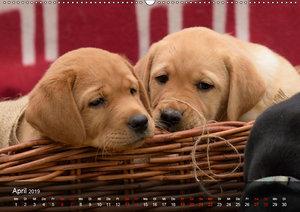 Labrador Retriever Welpen (Wandkalender 2019 DIN A2 quer)