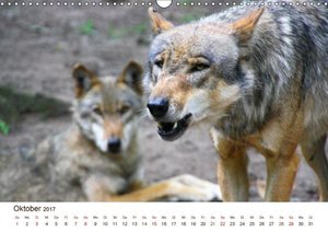 Wölfe 2017. Tierische Impressionen (Wandkalender 2017 DIN A3 que