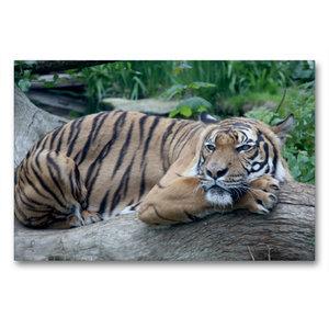 Premium Textil-Leinwand 90 cm x 60 cm quer Malaysischer Tiger