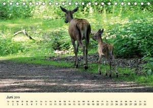 Der Rothirsch - Der König in unseren Wäldern (Tischkalender 2019