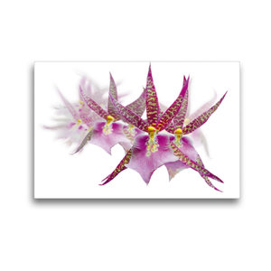 Premium Textil-Leinwand 45 cm x 30 cm quer Dendrobium Orchideenr