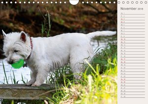West Highland White Terrier - Selbstbewustes Powerpaket - der We