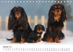 Whole-colour Cavalier King Charles Spaniel (Tischkalender 2019 D