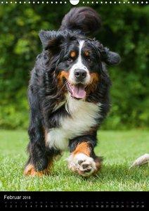 Faszination Berner Sennenhund