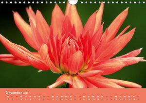 Dahlien (Wandkalender 2019 DIN A4 quer)