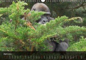 Gorillas. Friedliebende Kraftpakete