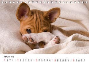Bezaubernde Basenji-Welpen (Tischkalender 2019 DIN A5 quer)