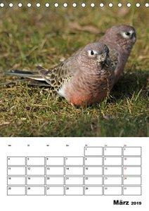 Papageien - Graupapagei, Rosella und Co. (Tischkalender 2019 DIN