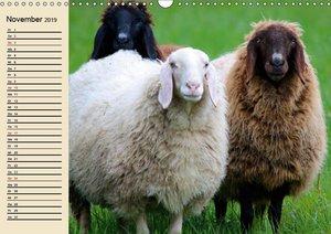 Schafe. Friedliche Rasentrimmer und Einschlafhilfen (Wandkalende