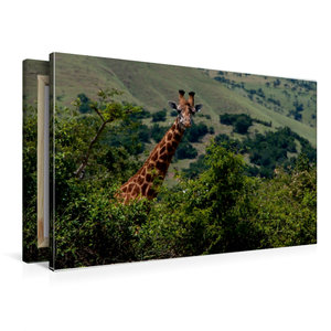 Premium Textil-Leinwand 90 cm x 60 cm quer Neugierige Giraffe