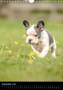 Französische Bulldoggen - Eine Bully Liebeserkärung