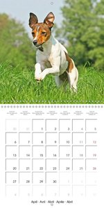 Calvendo: Jack Russell Terriers: Lively and Playful